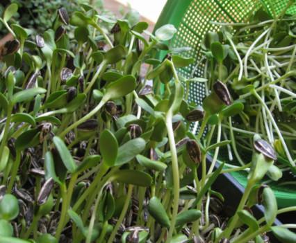 Germinados orgánicos de girasol